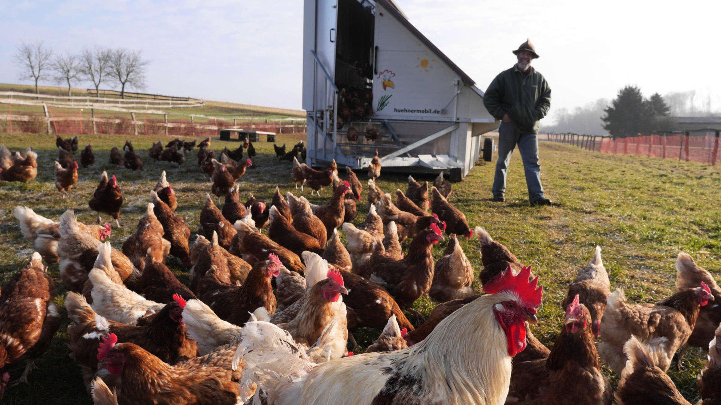 hühner eingewöhnen